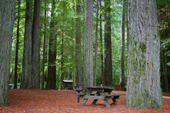 Picnic Table in Redwood Forest Royalty Free Stock Image