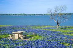 Picnic table surrounded by Texas Bluebonnets Stock Images
