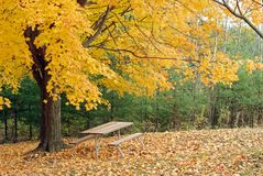 Picnic table under a beautiful yellow maple tree. Lone picnic picnic table under a beautiful yellow maple tree on edge of forest Stock Images