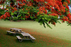 Picnic tables under Royal Poinciana Blossoms Stock Photo