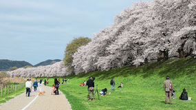 A picnic under beautiful cherry blossoms on the meadows by Sewaritei river bank Royalty Free Stock Images