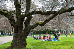 Picnic by University Cherry Trees. Group of women and children sitting on a blanket next to one of the University of Washington's famous Yoshimo cherry trees on Royalty Free Stock Photos