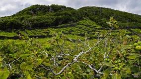 Pico -葡萄园和少许玄武岩墙壁,亚速尔群岛 免版税库存图片