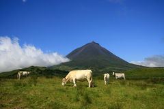 Pico Azores Cows. Dairy cattle and the Pico Mount. Fresh milk is the primary raw material used in Azores. Production of milk are by far the most important stock photography