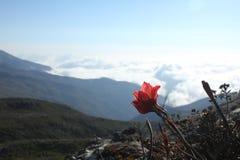 Pico da bandeira, flor Imagens de Stock