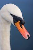Pico del cisne Fotos de archivo libres de regalías