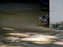 Pico disimulado del pequeño gatito del gato detrás de la esquina de la pared imagenes de archivo
