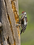 Pico picapinos (Dendrocopos major). One of the most widespread and common woodpeckers of Spain, the great spotted woodpecker is a bird equipped with a powerful Royalty Free Stock Photography