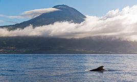 Pico pilot whale Stock Image