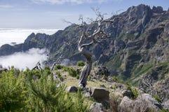 Pico Ruivo hiking, amazing magic landscape, incredible views, burned tree against blue sky, island Madeira, Portugal. Pico Ruivo hiking, amazing magic landscape stock photo