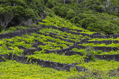 Pico - vineyards and little basalt walls, Azores royalty free stock photography