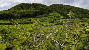Pico - vineyards and little basalt walls, Azores Royalty Free Stock Images