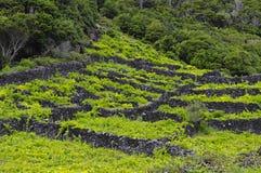 Pico - vingårdar och little basaltväggar, Azores Royaltyfri Fotografi