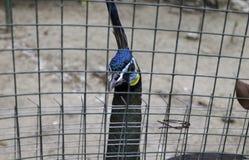 Pico y cara del pavo real detrás de la jaula Fotos de archivo