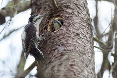 Picoides tridactylus , Three-toed Woodpecker. Stock Images