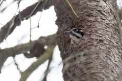 Picoides tridactylus , Three-toed Woodpecker. Royalty Free Stock Image