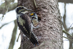 Picoides tridactylus , Three-toed Woodpecker. Royalty Free Stock Photography