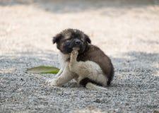 Picor de rasguño rechoncho del perrito foto de archivo