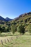 Picos de Europa. Cows pasturing and resting in Picos de Europa, Asturias (Spain Royalty Free Stock Image