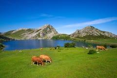 Picos de Europa Enol sjö i Asturias Spanien arkivbilder