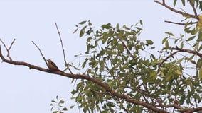 Picoteador de madera en el parque nacional de Sundarbans en Bangladesh almacen de metraje de vídeo