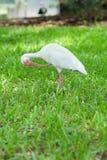 Picoter de plume d'un oiseau d'IBIS photos stock