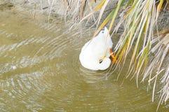 Picoter de plume de canard image stock