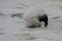 Picoter de poussin de pingouin d'empereur trois Photo stock