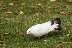 Picoter la colombe de blanc photo libre de droits