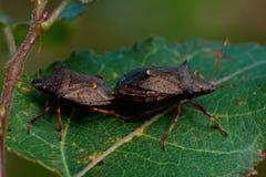 Picromerus鬼针草属尖shieldbug 免版税库存照片