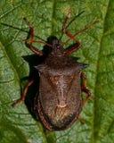 Picromerus bidens spijkerde shieldbug vast Royalty-vrije Stock Afbeelding