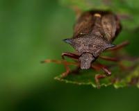 Picromerus bidens spijkerde shieldbug vast Stock Afbeelding