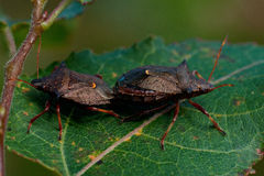 Picromerus bidens spijkerde shieldbug vast Royalty-vrije Stock Foto's
