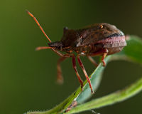 Picromerus bidens spiked shieldbug Royalty Free Stock Images