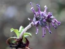 Picrorhizakurroa, Kutki, Picroliv Stock Foto's