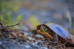 Picta Chrysemys der Östlichen Zierschildkröte Stockbilder