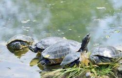Picta Chrysemys der Westlichen Zierschildkröte Stockfoto