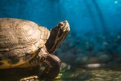 Picta crecido pintado del chrysemys de la tortuga que se sienta en la roca que toma el sol en la charca del agua dulce con el esp imagen de archivo