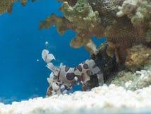 Picta Hymenocera ή οι γαρίδες harlequin στοκ φωτογραφία