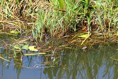 Pictiventris fasciata Nerodia змейки воды Флориды Стоковые Изображения
