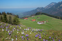 Pictorial alpine landscape with cabins and crocus meadow. Upper bavaria Royalty Free Stock Photo