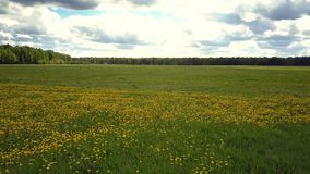Back top motion over vast grass field with dandelion spots. Pictorial back aerial motion over vast green field with blooming yellow dandelion spots among forests stock video