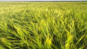 Pictorial barley stems grow on green endless field close. Pictorial barley stems grow on green endless wheat field on windy summer day close upper view. Concept stock footage