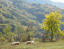 Pictorial early morning landscape with sheep on a meadow Royalty Free Stock Images