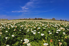 The pictorial field of white flowers Stock Photography