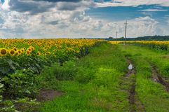 Pictorial landscape with an earth road among unripe sunflower agricultural fields Royalty Free Stock Photos