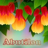 Pictum chino del Abutilon de la linterna de la vena roja con las flores Selva tropical de Misiones, la Argentina, Suramérica Vect Fotografía de archivo