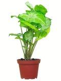 picturatum caladium Стоковое фото RF