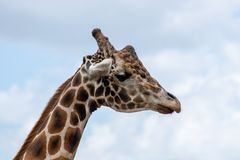 Adult male giraffe royalty free stock photos
