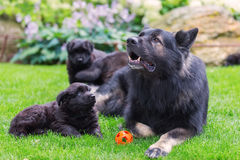 Adult Old German Shepherd dog lies with puppies in the garden. Picture of an adult Old German Shepherd dog who lies with puppies in the garden Royalty Free Stock Photo